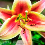 A beautiful, fragrant orange and yellow lily blossom.